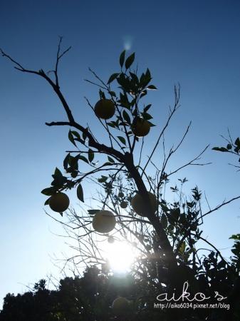 石圍牆酒莊:【台中東勢】摩天嶺甜柿&石圍牆酒莊&桔之園椪柑~